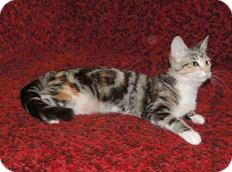 Domestic Shorthair Cat for adoption in Plano, Texas - CHANTILLY-AFFECTIONATE BEAUTY