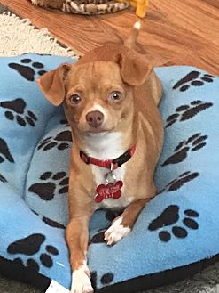 Chihuahua Mix Dog for adoption in San Diego, California - Missy