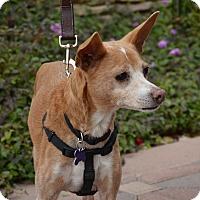 Adopt A Pet :: Billy - Phoenix, AZ