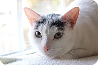 Domestic Shorthair Cat for adoption in Wayne, New Jersey - Maude