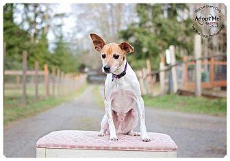 Rat Terrier Mix Dog for adoption in Seattle c/o Kingston 98346/ Washington State, Washington - Leo