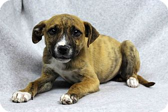 Boxer Mix Puppy for adoption in Westminster, Colorado - Deb