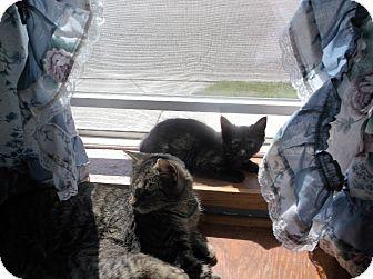 Domestic Shorthair Kitten for adoption in grove city, Ohio - midnight 2