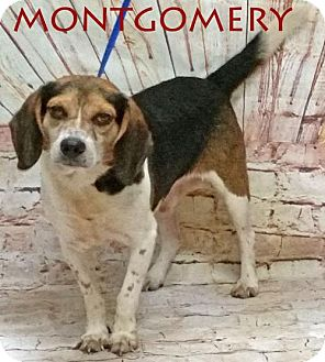 Beagle Dog for adoption in Griffin, Georgia - Montgomery
