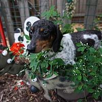 Adopt A Pet :: Bonnie - Sioux Falls, SD