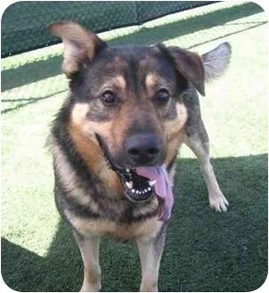 German Shepherd Dog/Alaskan Malamute Mix Dog for adoption in San Diego, California - Hero