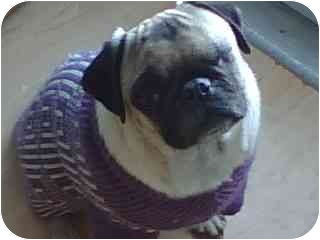 Pug Dog for adoption in Thatcher, Arizona - Mandy