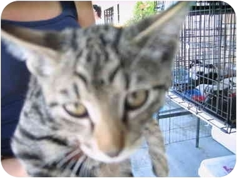 Bengal Kitten for adoption in Temecula, California - , larry curley