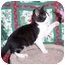 Photo 1 - Domestic Shorthair Kitten for adoption in Brighton, Michigan - Laurel