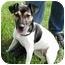 Photo 4 - Rat Terrier Dog for adoption in Osseo, Minnesota - Katie