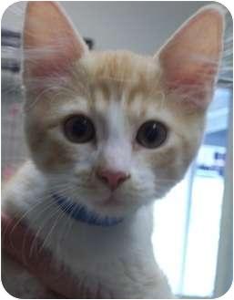 Domestic Shorthair Kitten for adoption in Grants Pass, Oregon - Royce