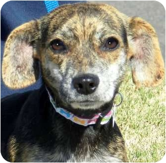 Dachshund/Chihuahua Mix Dog for adoption in Wakefield, Rhode Island - NUTTER BUTTER(IN NEW ENGLAND)