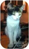 Domestic Shorthair Kitten for adoption in Medford, Massachusetts - Izzy