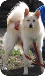 Chow Chow/American Eskimo Dog Mix Dog for adoption in Chicago, Illinois - Crosby(ADOPTED!!)