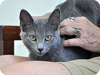 Domestic Mediumhair Kitten for adoption in Bradenton, Florida - Samantha