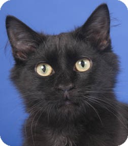 Domestic Mediumhair Kitten for adoption in Chicago, Illinois - Licorice