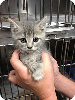 "Domestic Shorthair Kitten for adoption in MARION, Virginia - ""Kim"""