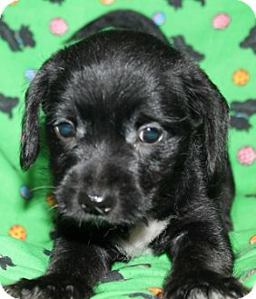 Border Collie Mix Puppy for adoption in Hainesville, Illinois - Lady