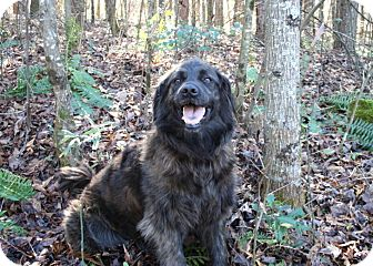 Retriever (Unknown Type)/Newfoundland Mix Dog for adoption in Cleveland, Georgia - Liz