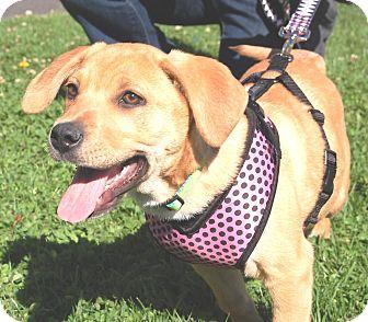 Labrador Retriever Mix Puppy for adoption in West Los Angeles, California - Quiche