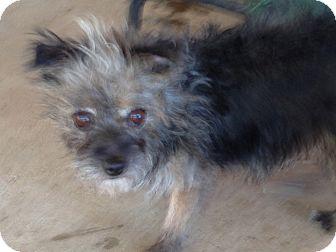 Cairn Terrier Mix Dog for adoption in Scottsdale, Arizona - Gretchen