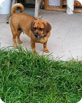 Pug/Beagle Mix Dog for adoption in ONeill, Nebraska - Macy