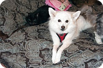 Eskimo Spitz Dog for adoption in Los Angeles, California - Winter