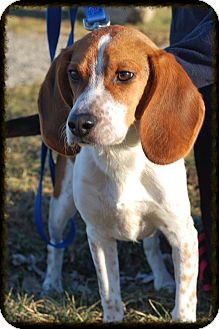 Beagle Mix Puppy for adoption in Elyria, Ohio - Odie