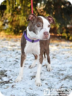 Pit Bull Terrier Mix Dog for adoption in Springfield, Illinois - Posey