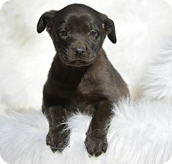 Australian Shepherd/Labrador Retriever Mix Puppy for adoption in Groton, Massachusetts - Patsy