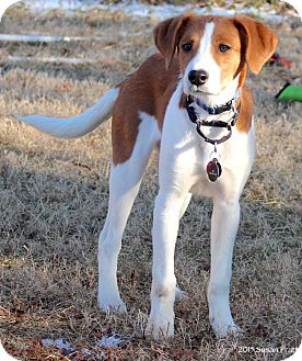 Foxhound Mix Puppy for adoption in Bedford, Virginia - Rosemary