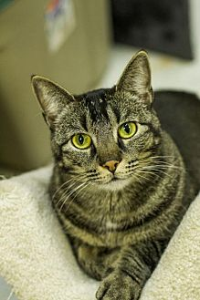 Domestic Shorthair Cat for adoption in Baton Rouge, Louisiana - Rose