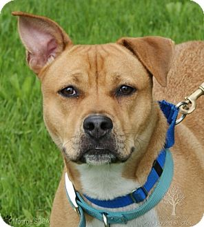 Boxer/Shepherd (Unknown Type) Mix Dog for adoption in Dundee, Michigan - Dallas