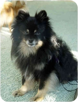 Pomeranian Dog for adoption in Houston, Texas - King