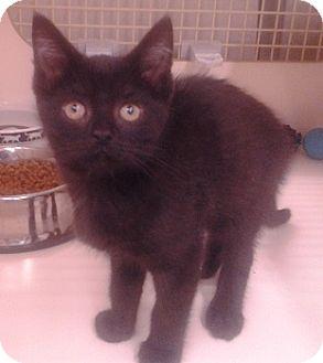 Domestic Shorthair Kitten for adoption in Richmond, Virginia - Rumple