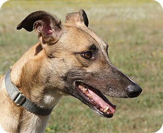 Greyhound Dog for adoption in Portland, Oregon - Foxfire