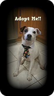 Jack Russell Terrier Mix Dog for adoption in Oakdale, Connecticut - Jacko
