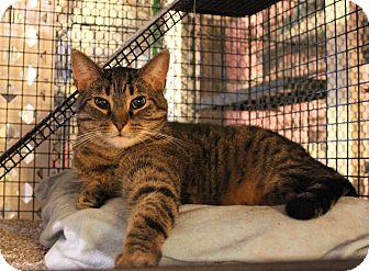 Domestic Shorthair Cat for adoption in Carlisle, Pennsylvania - Sparky