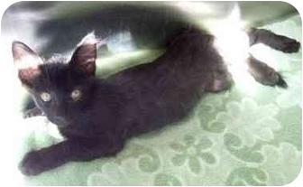 Oriental Kitten for adoption in San Clemente, California - HENRY = A Touch & Will Purrrr!