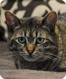 British Shorthair Cat for adoption in Lafayette, New Jersey - Lorelai