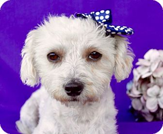 Maltese/Poodle (Miniature) Mix Dog for adoption in Irvine, California - Gina