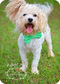 Havanese Dog for adoption in Fort Valley, Georgia - Ricoh