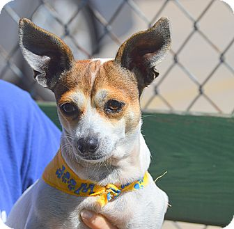 Jack Russell Terrier Mix Dog for adoption in San Leon, Texas - Jill