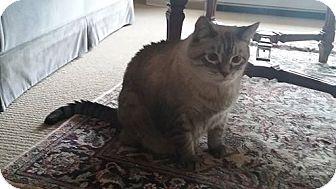 Tonkinese Cat for adoption in Somonauk, Illinois - Jinx