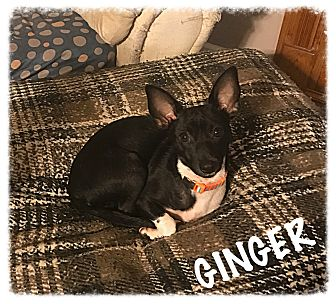 Dachshund/Chihuahua Mix Puppy for adoption in Tempe, Arizona - Ginger