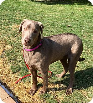 Labrador Retriever Puppy for adoption in Mentor, Ohio - DUSTY**8 MONTHS OLD!!