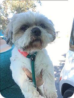 Shih Tzu Mix Dog for adoption in Encino, California - Eclair