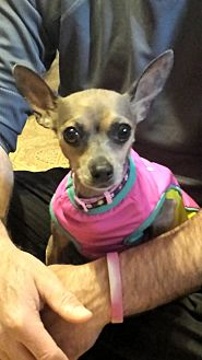 Chihuahua Mix Dog for adoption in Davenport, Iowa - Roz
