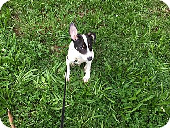 Jack Russell Terrier Mix Puppy for adoption in Waldorf, Maryland - Bryan