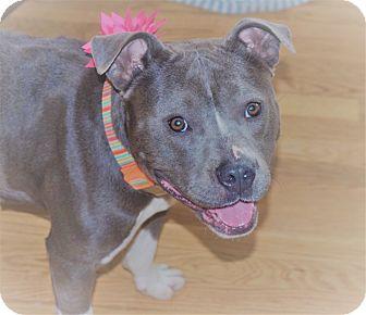 Staffordshire Bull Terrier Dog for adoption in Minnesota, Minnesota - CALLIE